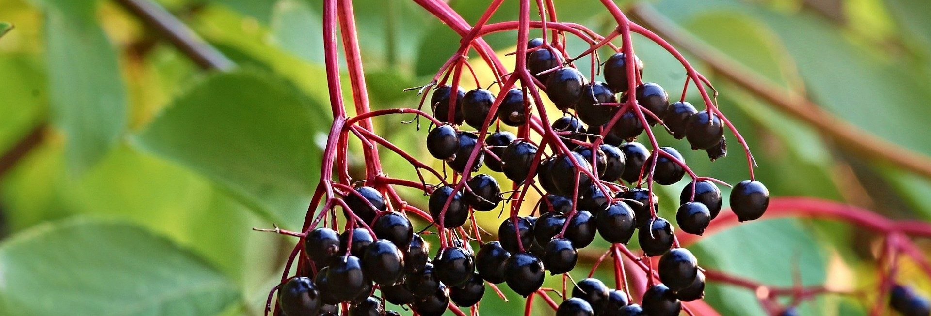 Elderberry plant and fruits.