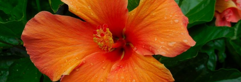 The hibiscus flower and plant.