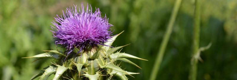 Milk thistle flower and plant.