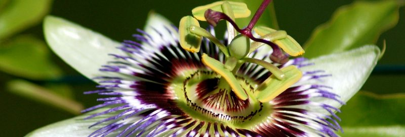 Passionflower and plant (Passiflora incarnata).