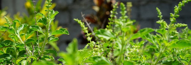 Tulsi (Ocimum Sanctum) also known as Holy basil.
